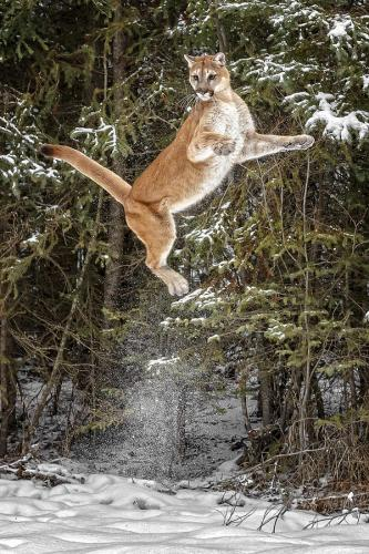 Mountain lion caught in mid leap
