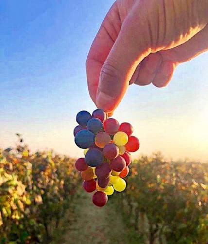 Multi Colored Grapes