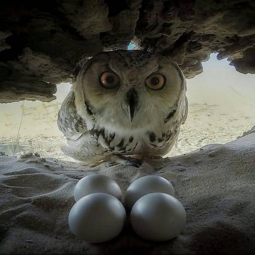 Owl and her eggs