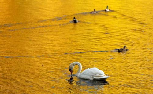 Autumn leaves are reflected in the water of Loch Faskally where a swan and ducks swim